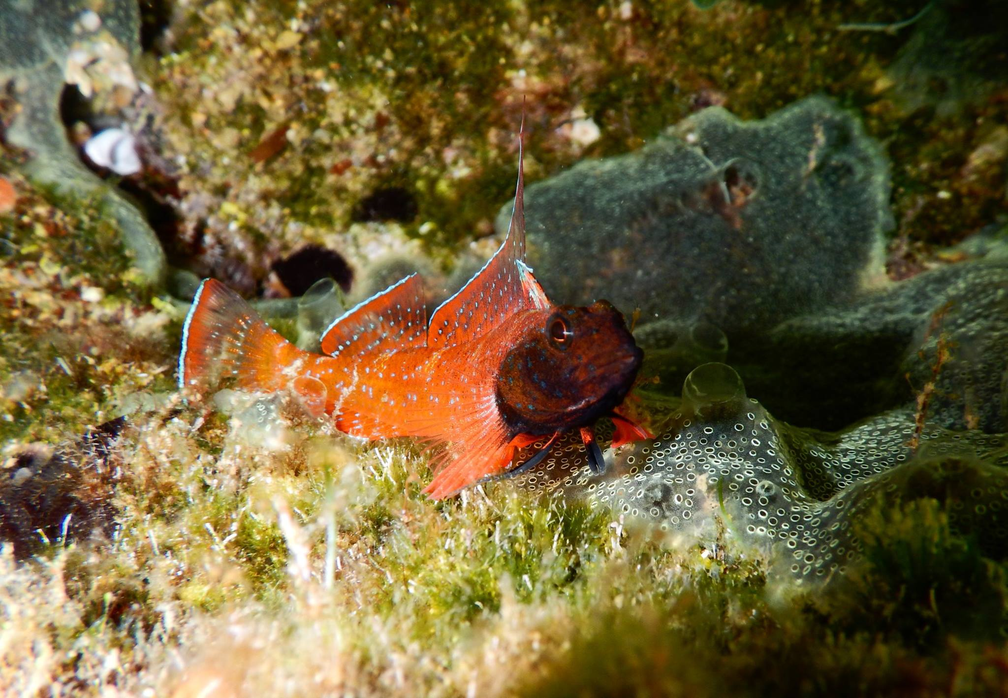 Blackfaced Blenny captured by Stay Wet diving center.