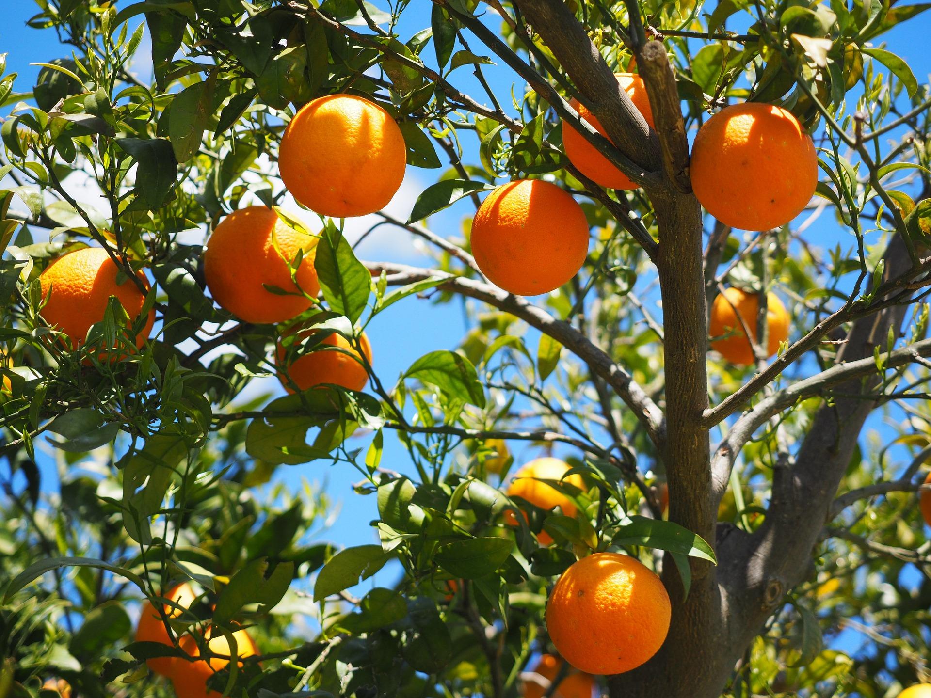 Orange Festival in Fodele