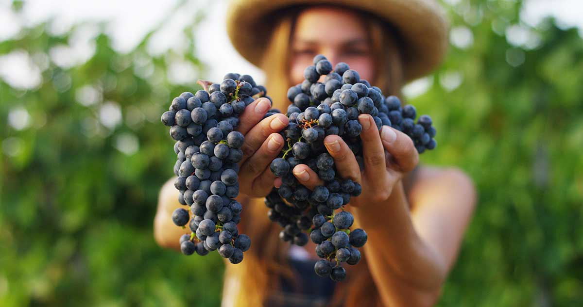Grape Harvest – Trygos – and Its Products
